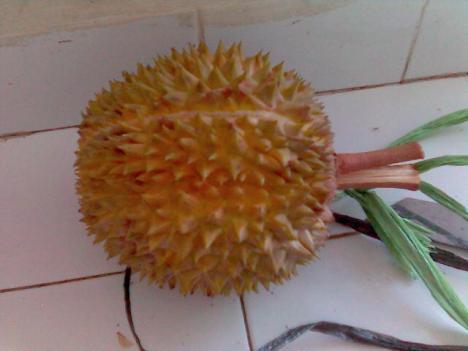 Salah satu Durian asli jatuh sendiri dari Dusan Salaran Patuk GunungKidul