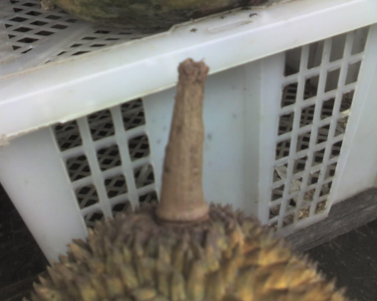 Contoh gagang durian yang dipetik paksa
