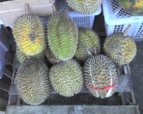 Kumpulan durian petik paksa